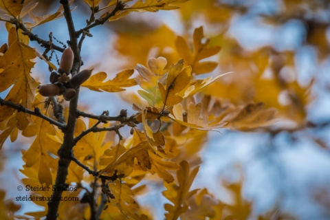 Steider Studios.Oak Leaves.Balfour.11.18.15