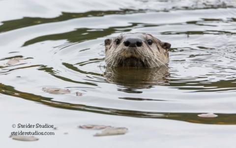 Steider Studios.Otters at Mill Pond.11.16.15-2
