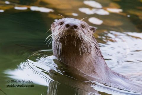 Steider Studios.Otters at Mill Pond.11.16.15