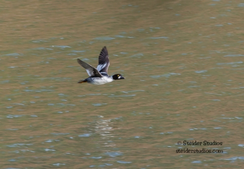 Barrow's Goldeneye taking off from the Little White Salmon River. Photo by Steider Studios