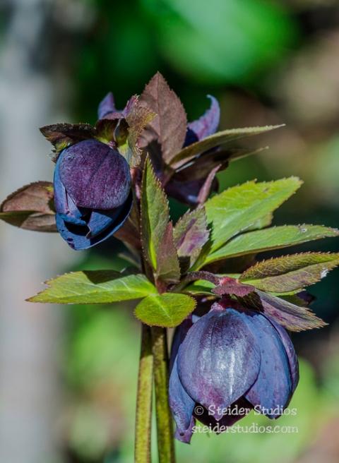 Steider Studios.Garden Flower.3.29.16-2