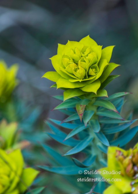 Steider Studios.Garden Flower.3.29.16-3