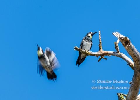 Steider Studios.Klickitat Wildlife.4.8.16-11