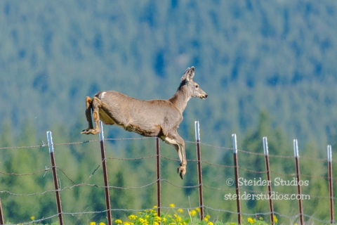 Steider Studios.Klickitat Wildlife.4.8.16