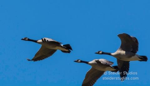 Steider Studios.Canada Geese.7.13.16