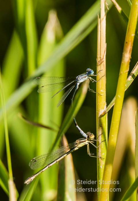 Steider Studios.Dragonfly Duo on Reed.7.13.16