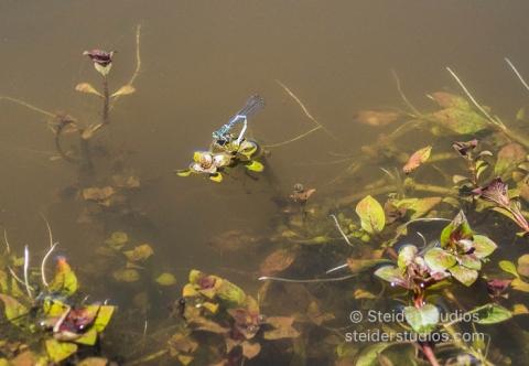 Steider Studios.Dragonfly on flower.7.13.16