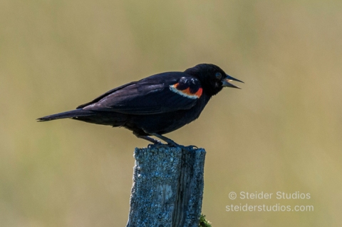 Steider Studios.Red winged Blackbird.7.13.16