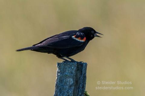 Steider Studios.Red winged Blackbird.7.13.16