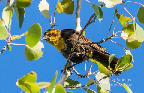 Steider Studios.Yellow-headed Blackbird.7.13.16