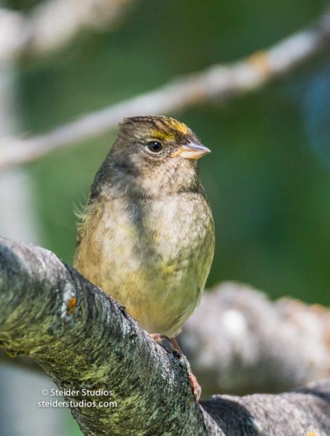 Steider Studios.Golden-crowned Sparrow.9.4.16