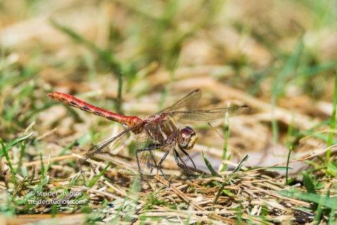 Steider Studios.Red Dragonfly on grass.9.4.16