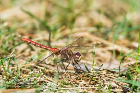 Steider Studios.Red Dragonfly on grass.9.4.16