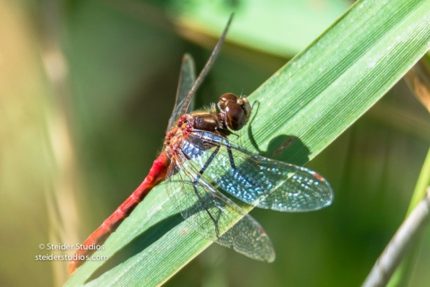 Steider Studios.Red Dragonfly on leaf.9.4.16