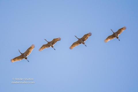Steider Studios.Sandhill Cranes in Flight.9.4.16