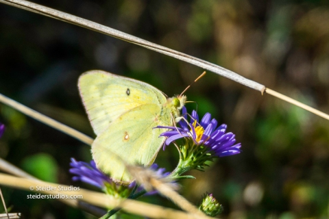 Steider Studios.Sulphur Butterfly on Aster.9.4.16