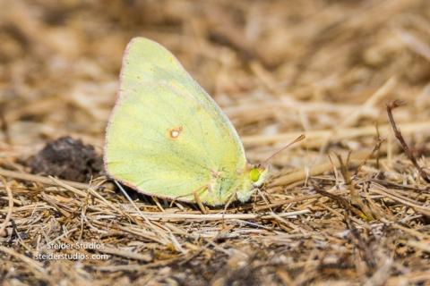 Steider Studios.Sulphur Butterfly on Ground.9.4.16