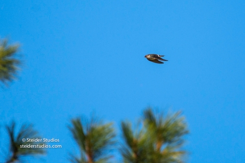 Steider Studios.VioletGreen Swallow in flight.9.4.16