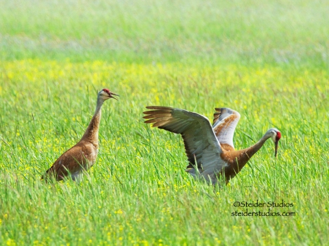 steider-studios-sand-hill-cranes-courting
