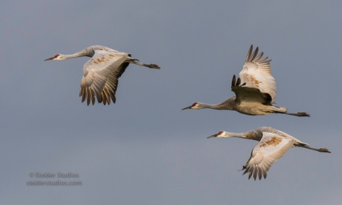 steider-studios-sandhill-crane-trio-in-flight-10-1-16