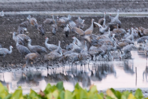 steider-studios-sandhill-cranes-come-in-to-roost-9-30-16-10