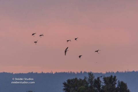 steider-studios-sandhill-cranes-come-in-to-roost-9-30-16-12
