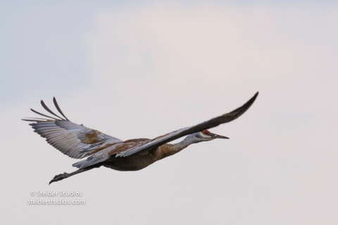 steider-studios-sandhill-cranes-come-in-to-roost-9-30-16-4