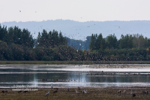 steider-studios-sandhill-cranes-come-in-to-roost-9-30-16-8