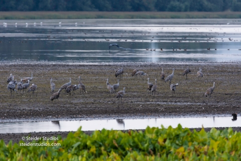 steider-studios-sandhill-cranes-come-in-to-roost-9-30-16-9