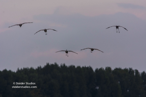 steider-studios-sandhill-cranes-come-in-to-roost-9-30-16
