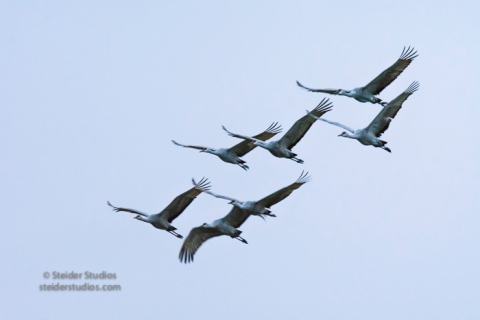 steider-studios-sandhill-cranes-leaving-in-am-10-1-16