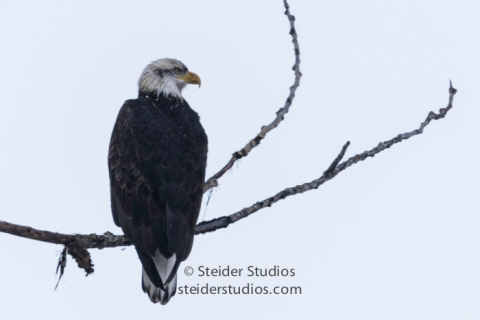 steider-studios-1-bald-eagle-12-18-16