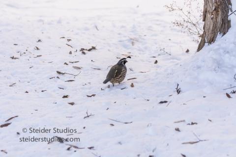 steider-studios-11-ca-quail-12-18-16