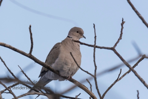 steider-studios-12-collared-dove-12-18-16