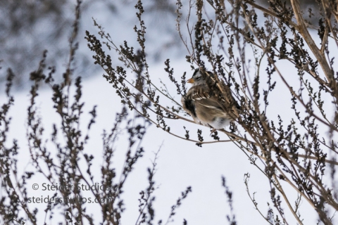 steider-studios-14-white-crowned-sparrow-12-18-16
