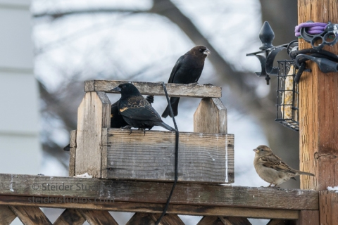 steider-studios-16-cowbird-blackbird-sparrow-at-feeder-12-18-16