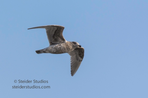 steider-studios-3-gull-in-flight-12-18-16