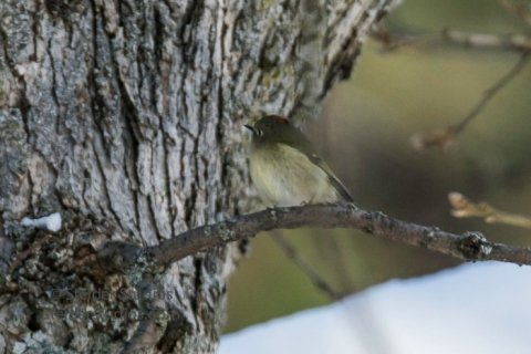 steider-studios-8-ruby-crowned-kinglet-12-18-16