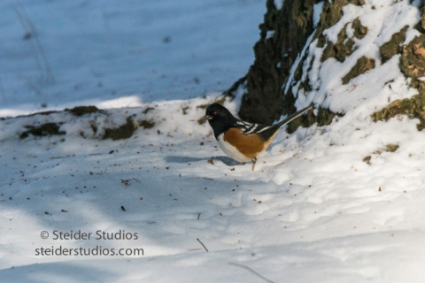 steider-studios-9-spotted-towhee-12-18-16