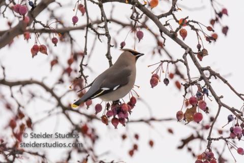 steider-studios-bohemian-waxwings-td-cbc-12-18-16-6