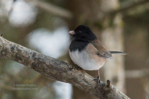 steider-studios-dark-eyed-oregon-junco-1-6-17