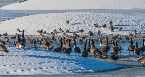 steider-studios-ducks-geese-12-31-16