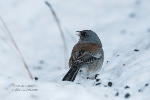 steider-studios-gray-headed-junco-1-6-17-2