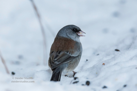 steider-studios-gray-headed-junco-1-6-17-3