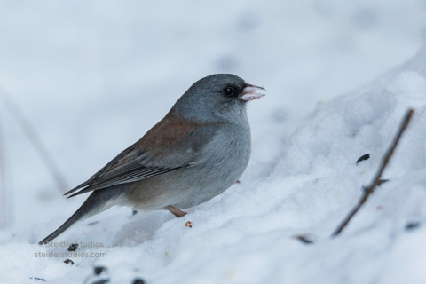 steider-studios-gray-headed-junco-1-6-17-4
