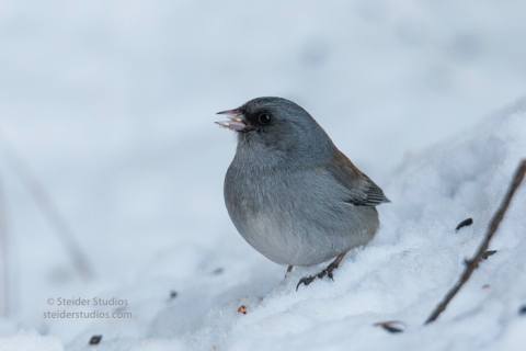 steider-studios-gray-headed-junco-1-6-17-5