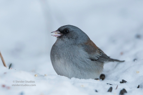 steider-studios-gray-headed-junco-1-6-17-6