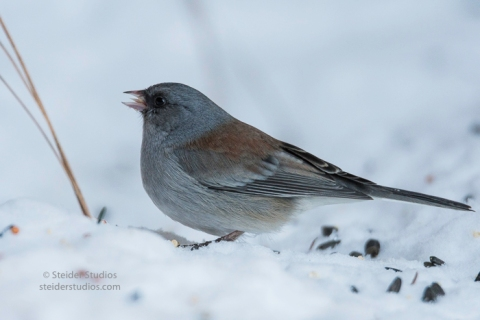 steider-studios-gray-headed-junco-1-6-17-7
