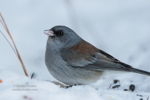 steider-studios-gray-headed-junco-1-6-17-8