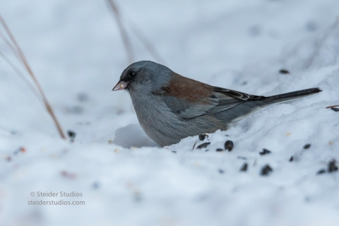 steider-studios-gray-headed-junco-1-6-17